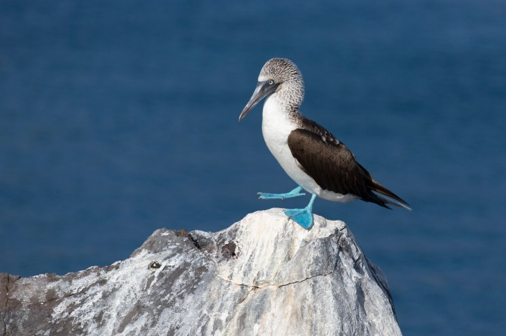 Blue-footed booby on San Cristobal Island.