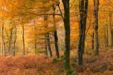 Autumn colours in Barton Wood, Exmoor National Park, Somerset, England. Autumn (November) 2013. © Adam Burton