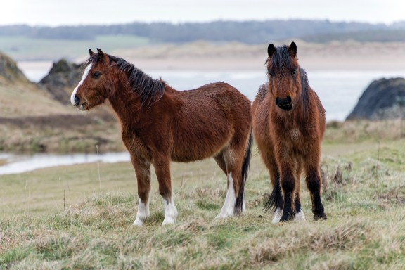 Welsh Mountain Ponies roaming Llanddwyn Island. Nikon D800, 70-300VR at 200mm, 1/1000 sec @ f/5.6, ISO 800. © Simon Kitchin
