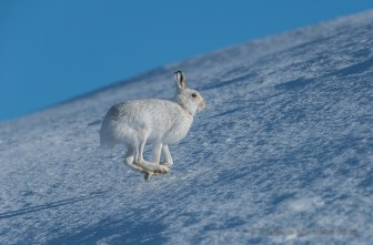 A mountain hare skips across a snow field in the Cairngorms. Nikon D800E, Nikkor 500mm f/4 + 1.4 converter at 700mm, ISO 100, 1/1000s at f/6.3, Tripod. March. © Andrew Marshall.