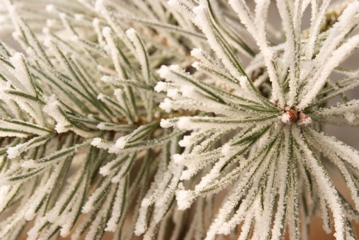 Frost on pine needles. Blenheim Park, Oxfordshire.  Nikon D700, Nikkor 28-105 at 60mm, 1/50s at f/8. Tripod. January. © Sarah Howard