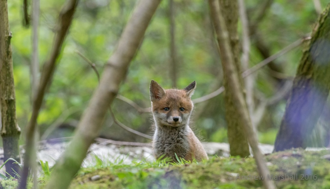 May is one of my favourite months. Fox cub in Oxfordshire. Nikon D4, Nikkor 500mm f/4 at 500mm, ISO 1000, 1/1000s at f/7.1 Handheld. May. © Andrew Marshall.