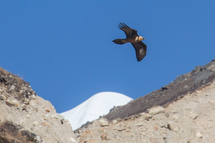 Lammergeier fly by! Also called the bearded vulture for obvious reasons. Canon 5D MkIII, 70-300mm at 300mm, ISO 200, 1/1250 sec at f/5.6, panning shot using AI Servo. © Stuart Holmes.