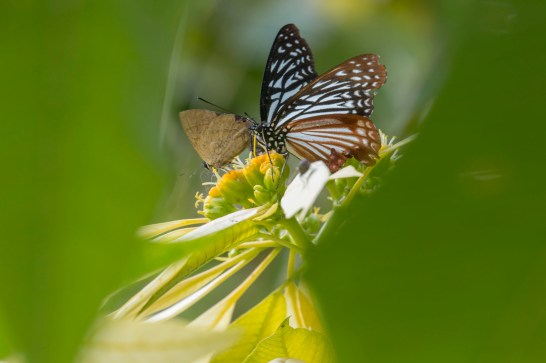 Hand held shot with small aperture of butterfly. Canon 5D MkIII, 70-300mm at 300mm, ISO 200, 1/60 sec at f/14. © Stuart Holmes.