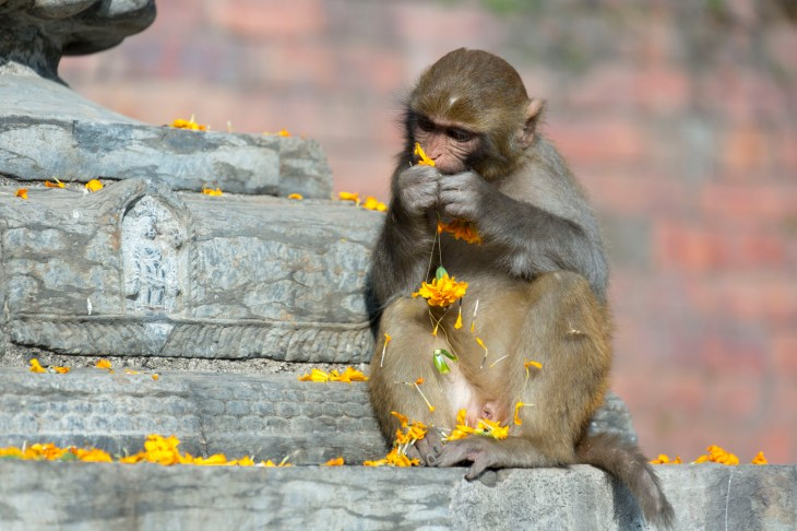 Monkey at the Monkey temple eating marigolds. Canon 5D MkIII, 70-300mm at 236mm, ISO 200, 1/640 sec at f/5.6. © Stuart Holmes.