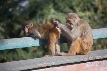 Bottom Inspector. Monkeys grooming at Swayambunath, Kathmandu. Canon 5D MkIII, 70-300mm at 166mm, ISO 200, 1/640 sec at f/5.6. © Stuart Holmes.