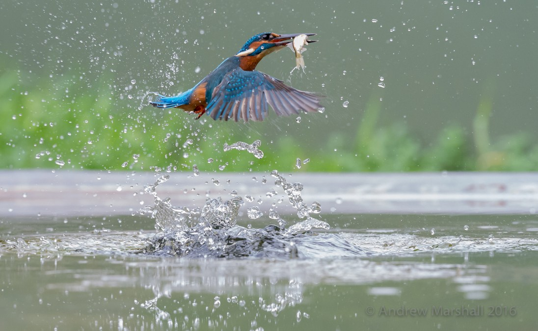 Diving kingfisher in September. Nikon D4, Nikkor 70-200mm f/4 at 120mm, ISO 5000, 1/2500s at f/7.1, Tripod. September. © Andrew Marshall.