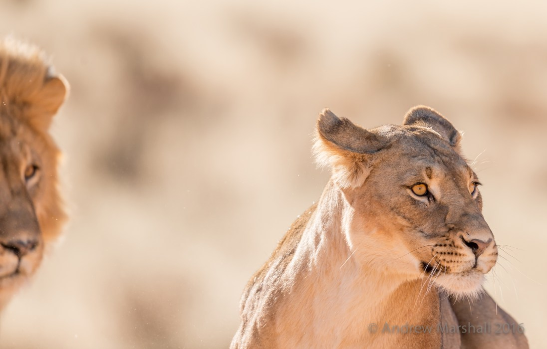 Black-maned lions of the Kalahari, Kgalagadi Transfrontier Park. Nikon D800E, Nikkor 500mm f/4 at 500mm, ISO 360, 1/1000s at f/5.6. Handheld. © Andrew Marshall.