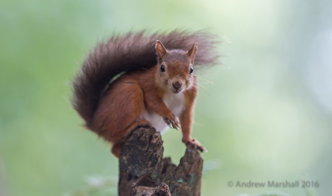 Red squirrel at Brownsea island in Dorset. Nikon D4, Nikkor 300mm f/2.8 at 300mm, ISO 3200, 1/400s at f/2.8. Handheld. October. © Andrew Marshall.
