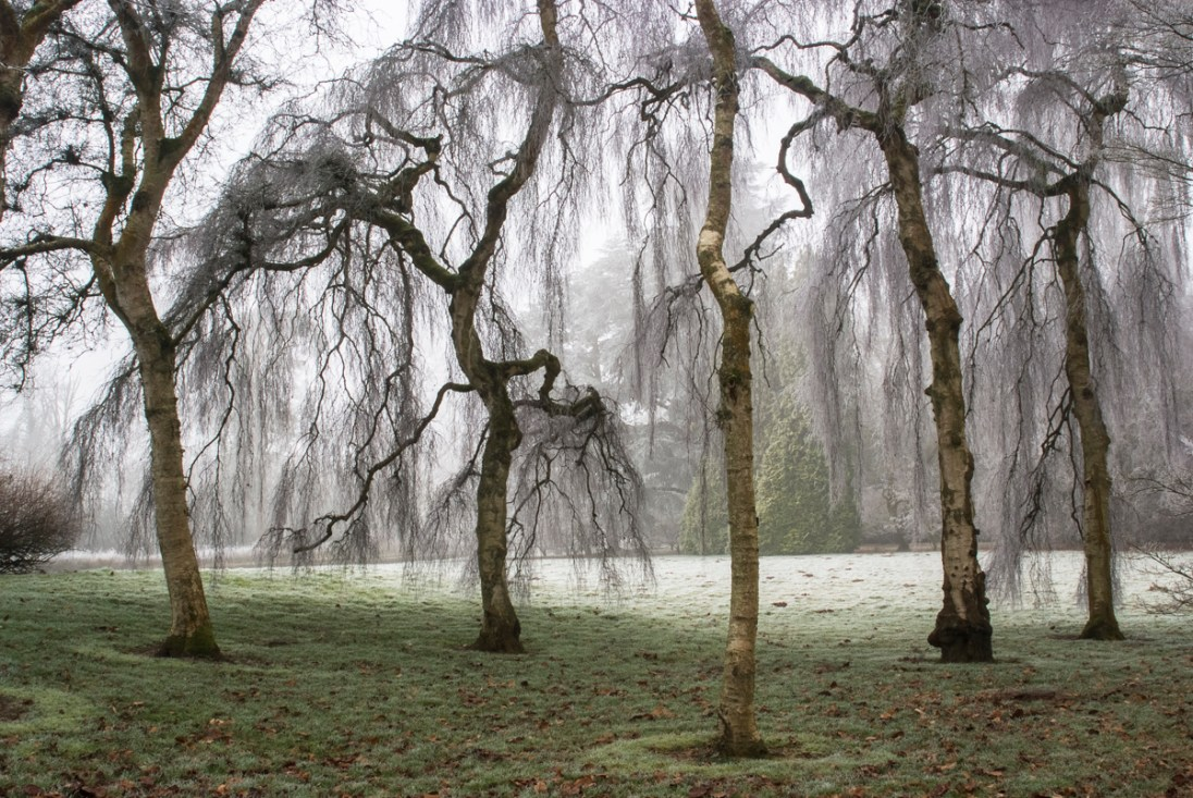 Weeping Birch, Westonbirt Arboretum. Nikon D700, 28-105mm at 28mm. 1/4s at f/16 Tripod. January © Sarah Howard