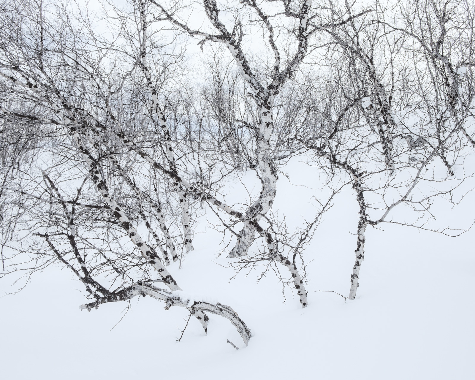 Arctic birch tango, Abisko. Fuji X-E2, Fuji 18-55mm at 20.5mm, ISO 200, 1/280s at f/7.1, handheld. March. © Lizzie Shepherd