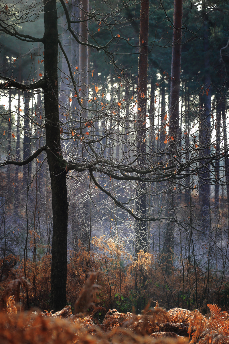 Winter woods at Ockham and Wisley Common. Canon 6D, Sigma 150mm f/2.8 at150mm f/X at 150mm, ISO 320, 1/160s at f/7.1. January. © Beata Moore