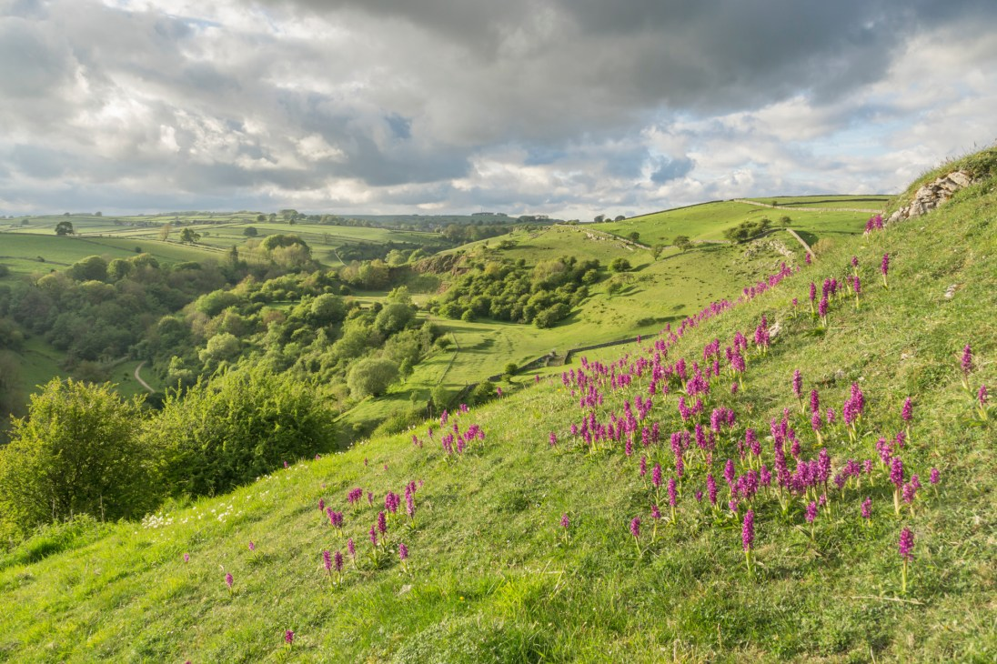 Early purple orchids above Tideswell Dale. © Mick Ryan.