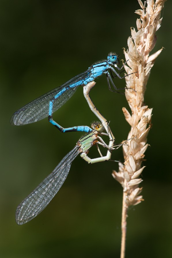 UK18-528 Common blue damselflies (Enallagma cyathigerum) mating, Lower Moor Farm, Wiltshire