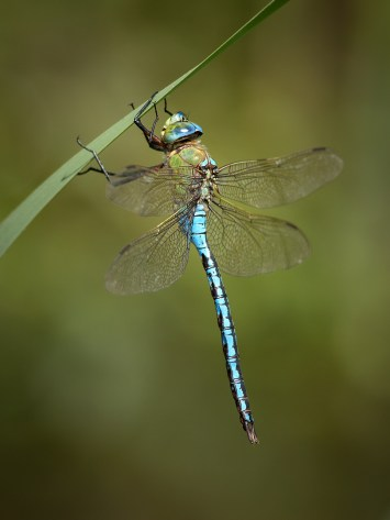 UK18-559 Emperor dragonfly (Anax imperator), Bowood, Wiltshire