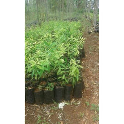 chandan-plant-250x250