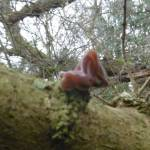 Jew's Ear Fungus