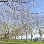 London Plane trees and Island Gardens