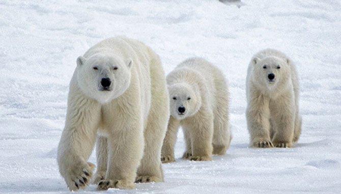 free resource roundup animals san diego zoo polar bears fountainof30