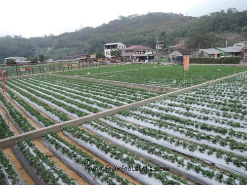tw-miaoli-dahu-strawberry-farms.jpg