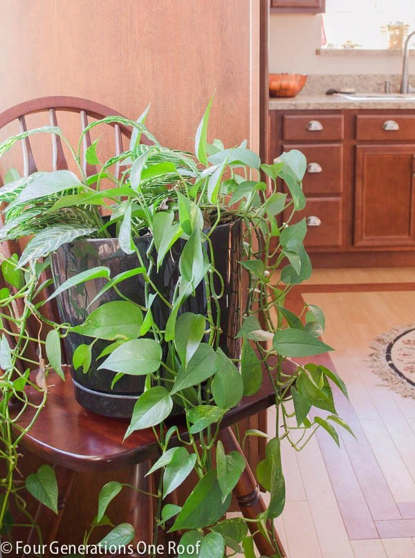 Philodendron house plant on brown bar stool - common house plants