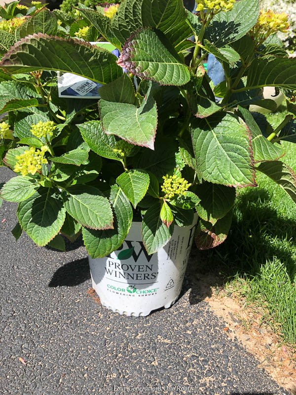 Why I Am Growing Hydrangea Bushes In Pots Around Pool