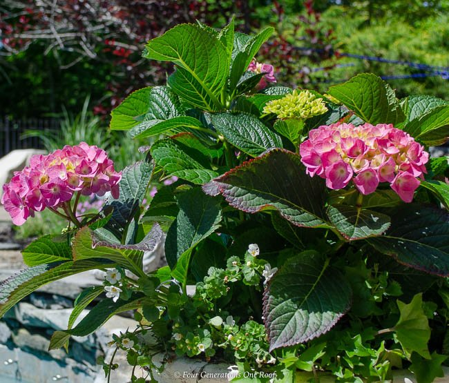 pink hydrangea in a pot, pool patio