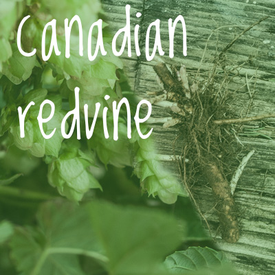 Canadian Red Vine Hop 2018 Rhizome