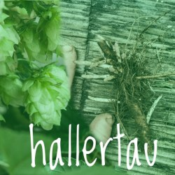 Hallertau Hop 2018 Rhizome