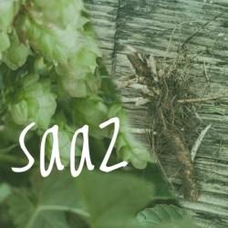 Saaz Hop 2018 Rhizome