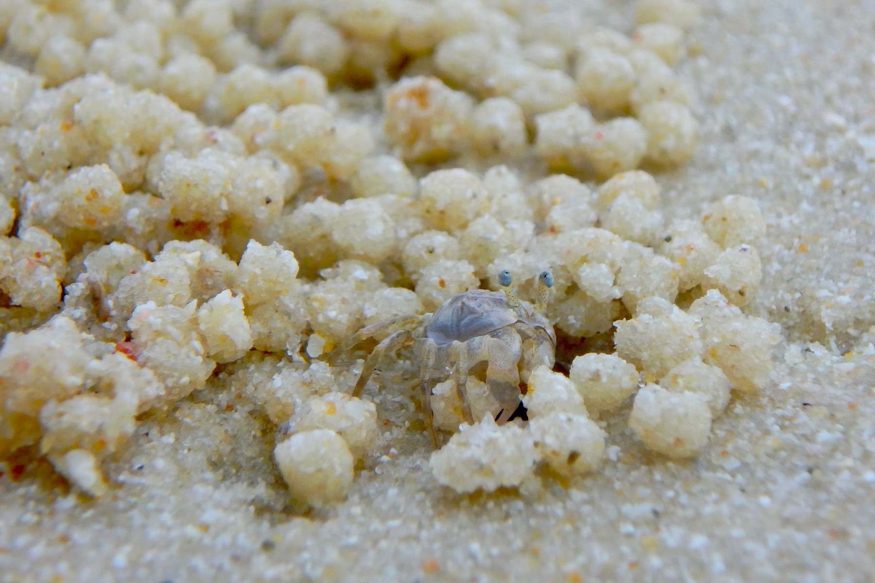 Sand Crabs at the Beach