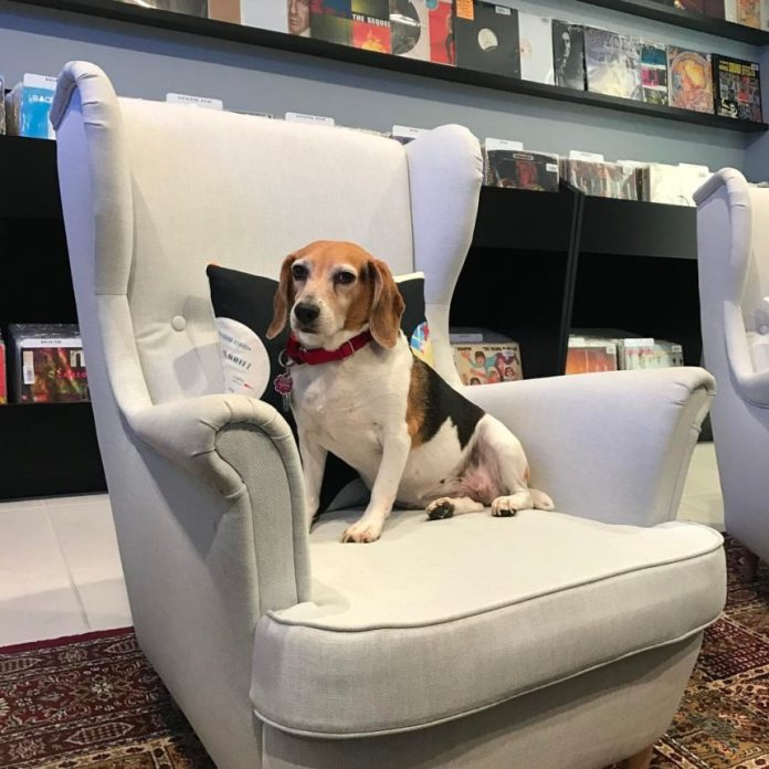 Brooklyn Vintage and Vinyl is also home to a rare breed of chair-beagle. photo from Miami New Times