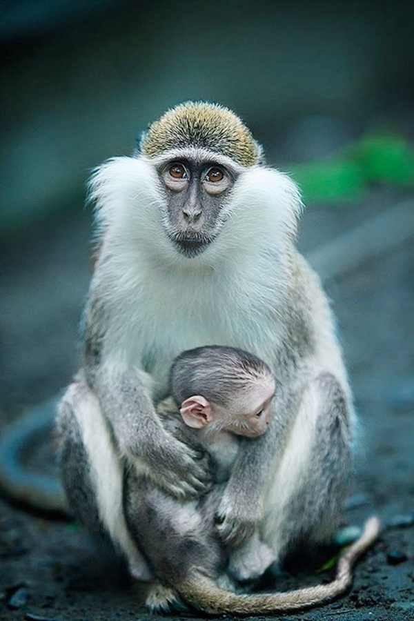 Small Monkey Breeds You Can Have As Pets