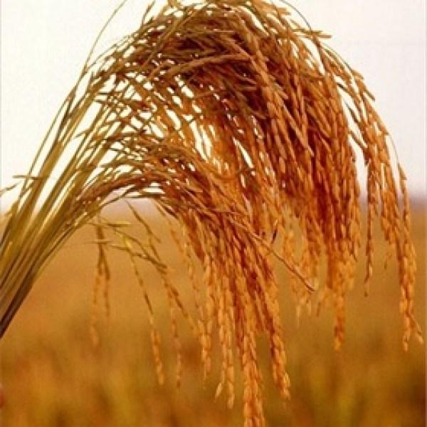 Rice_4961322105597610408