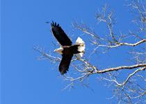 Eagle on the Farm_-6658549635467688037
