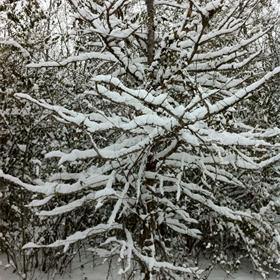 snowy tree branches_-5202945632867300242