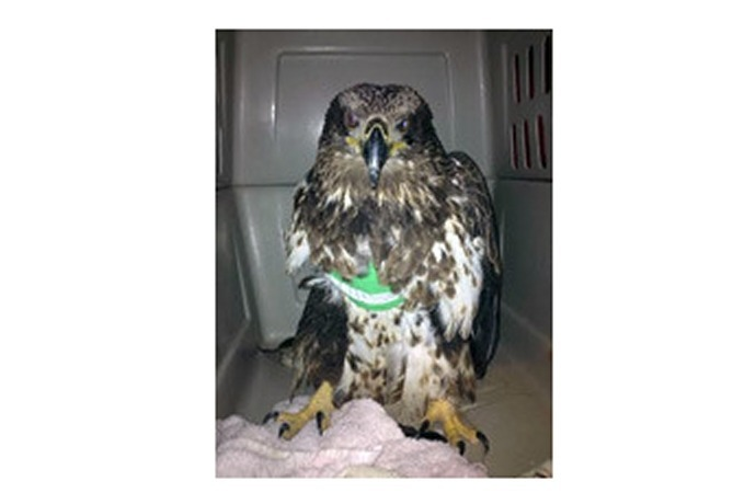 wounded eagle_-8476970465955067840