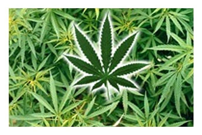 Marijuana_8157300488616692581