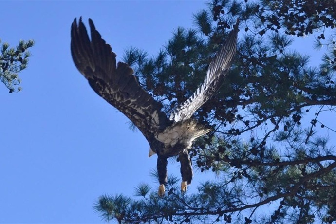 bald eagle released_5338591395390049048