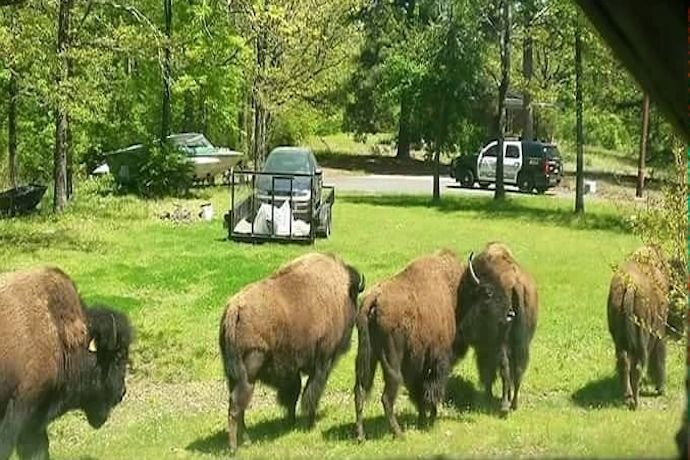 Buffalo herd escapes from farm in Hot Springs._3347243621598774622