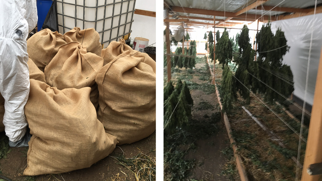 Deputies seized 536 pounds of marijuana and 250 marijuana plants from an eastern El Paso County home Thursday. / Photos courtesy El Paso County Sheriff's Office