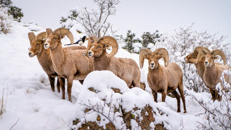 Photo by Daniel Forster of bighorn sheep at Garden of the Gods February 25, 2021.