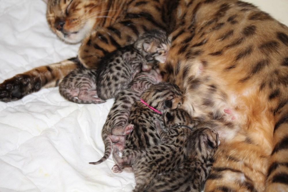 Bengal Kitten geboren am 19.01.2015 - 1 Tag alt