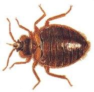 bedbug.jpg