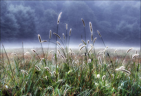 foxtail.jpg