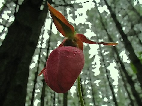 Pink Lady's Slipper
