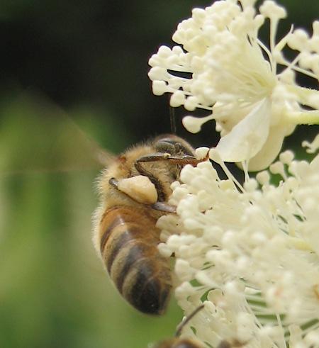 bee_pollenjog.jpg