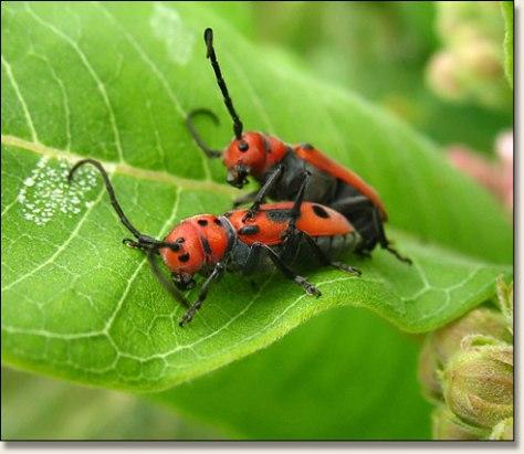 milkweedbugs2.jpg