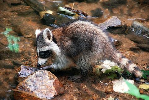 raccoon4.jpg