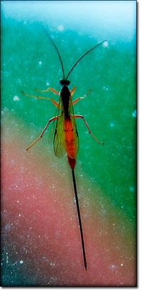Ichneumonid wasp female with ovipositor